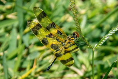 Dragonfly - D71_8799