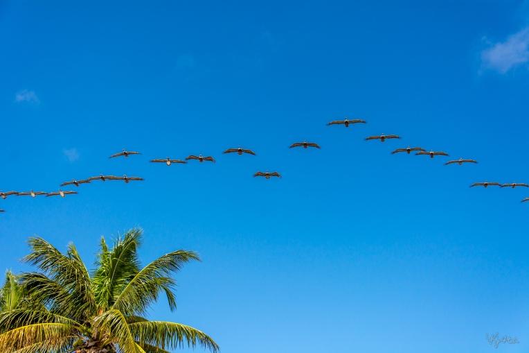 Pelicans South