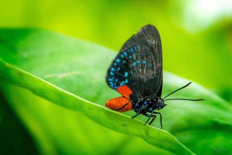 Florida Atala Butterfly