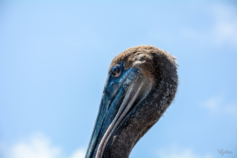 Brief Pelican
