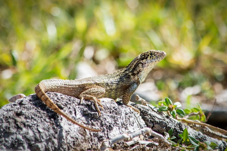 Curly Tail Lizard