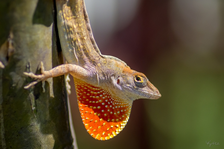 Brown Anole