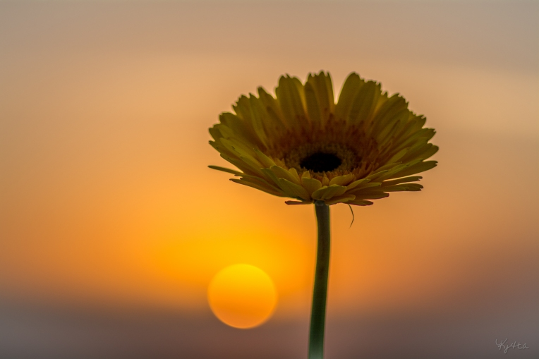 Sunset Daisy