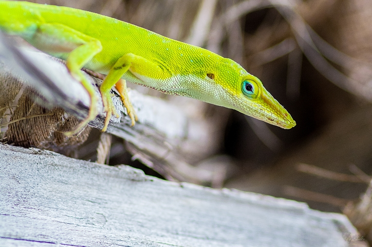 A Greener Green Anole