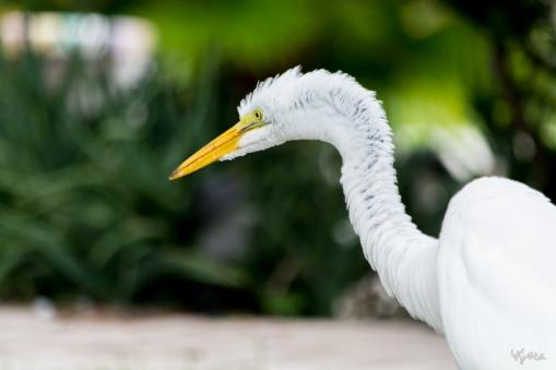 White Egret III