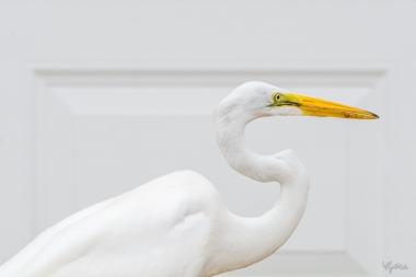 White Egret IV