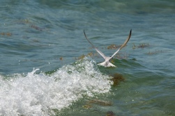 A Catch By Tern V