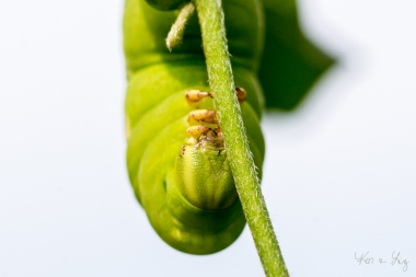 Tomato Hornworm 1