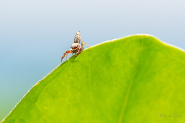 Jumping Spider 1