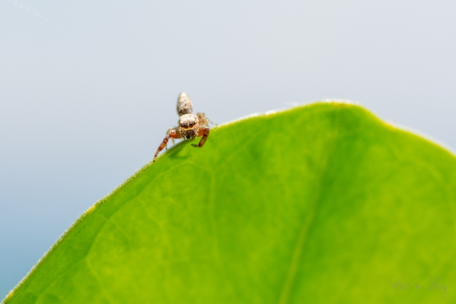 Jumping Spider 6