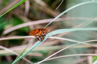 Mariposa Butterfly 3