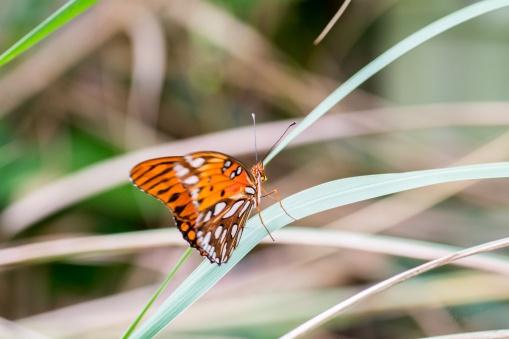 Mariposa Butterfly 4