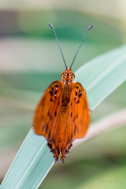 Mariposa Butterfly 5