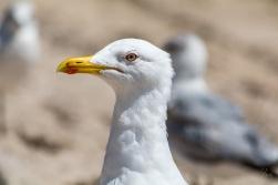Profile of a Herring Gull 3