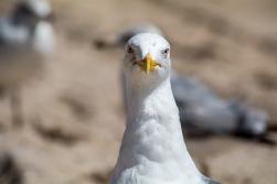 Profile of a Herring Gull 2