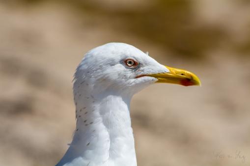 Profile of a Herring Gull 1