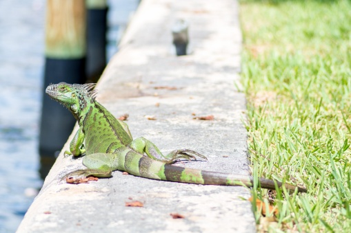 Green Iguana 4