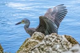 Night Heron 1