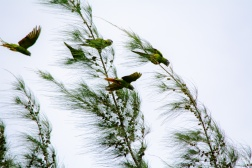 Blue-Crowned Parakeet 4