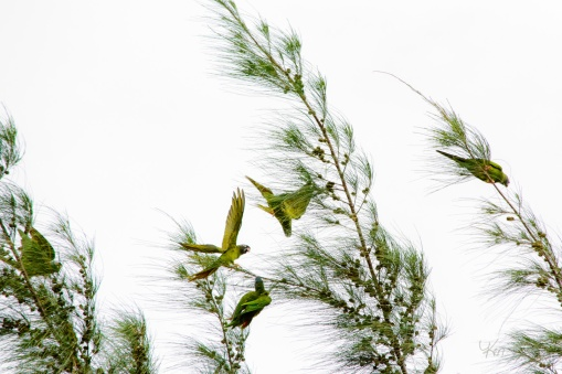 Blue-Crowned Parakeet 1