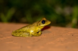 Cuban Tree Frog 3