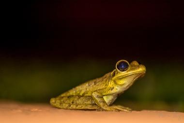 Cuban Tree Frog 4