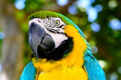 Hyacinthine Macaw 1