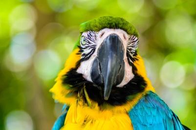 Hyacinthine Macaw 2